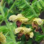 Salvia 'Amber'