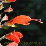 image salvia-alborosea-flower-bud-jpg