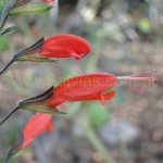 image salvia-alborosea-flower-close-up-jpg