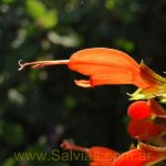 image salvia-alborosea-flower-detail-jpg