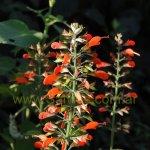 image salvia-alborosea-flower-spikes-jpg