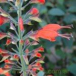 image salvia-alborosea-flowers-jpg