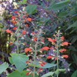 image salvia-alborosea-in-the-garden-jpg