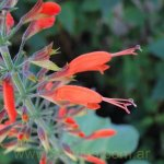image salvia-alborosea-inflorescence-aspect-jpg