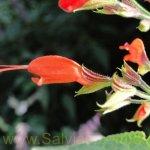 Salvia alborosea PE160022