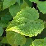 Salvia acerifolia