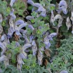 Salvia africana-caerulea