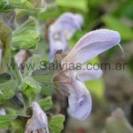 Salvia africana-caerulea 'Giant Form'