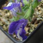 Salvia albimaculata