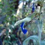Salvia albocaerulea
