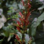 Salvia alborosea