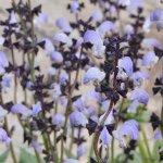 image salvia-algeriensis-flowers-jpg