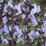 image salvia-algeriensis-plant-jpg