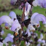 Salvia algeriensis