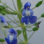 Salvia amethystina