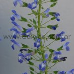 Salvia ampelophylla