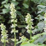 image salvia-amplifrons-flowers_1-jpg