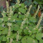 image salvia-amplifrons-in-the-garden-jpg