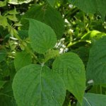 image salvia-amplifrons-leaves-jpg