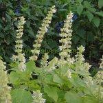 image salvia-amplifrons-plant-habit-jpg