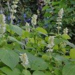 image salvia-amplifrons-plants-jpg