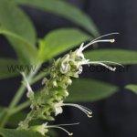 Salvia arborescens