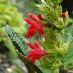 Salvia arenaria