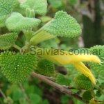 Salvia aspera