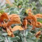 Salvia aurea