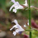 Salvia aurita