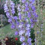 Salvia barrelierii