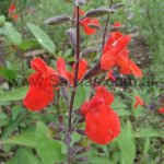 image blepharophylla2-jpg