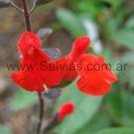 Salvia blepharophylla