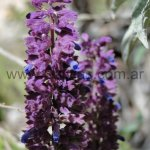 Salvia brachyloba
