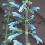 Salvia bullulata