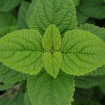 image salvia-bullulata-leaves-jpg