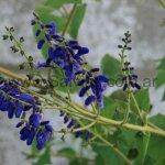 image cacaliifolia2-jpg
