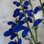 image cacaliifolia3-jpg