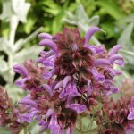 Salvia canariensis fo. candidissima