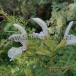 S. chamelaeagnea (de flores blancas)