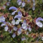 image salvia-chamelaeagnea-flower-close-up-jpg
