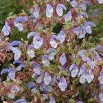 image salvia-chamelaeagnea-flowercolour-jpg