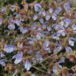 image salvia-chamelaeagnea-flowers-jpg