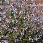 image salvia-chamelaeagnea-plant-habit-jpg