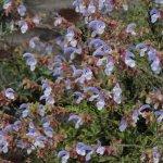 image salvia-chamelaeagnea-plant-jpg