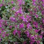 Salvia chiapensis de porte rastrero