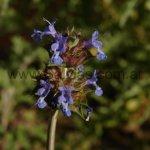 Salvia columbariae