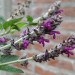 image salvia-cuatrecasana-inflorescence-jpg