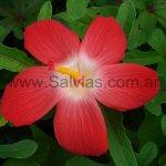 Abelmoschus moschatus 'Pacific Orange Scarlet'