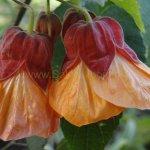 Abutilon hybridum 'Mezcla'